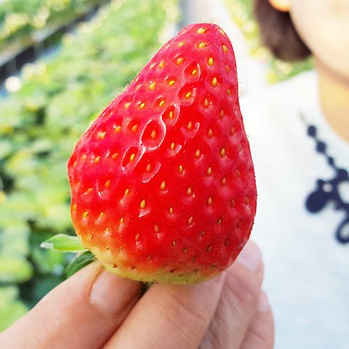구미 딸기 800g~900g, 1.6kg~1.8kg