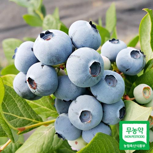 시설하우스 무농약 블루베리(수지블루) 1kg