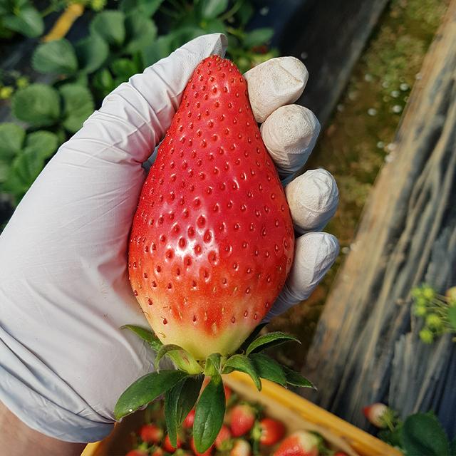 논산 킹스베리(왕딸기) 딸기 1kg(40~100g 혼합과)